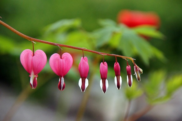 bleeding-heart-244354_1280