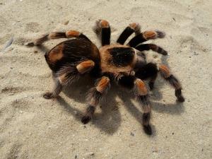 tarantula-62868_1280