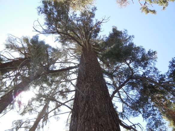 Looking Up, Sequoia 2014